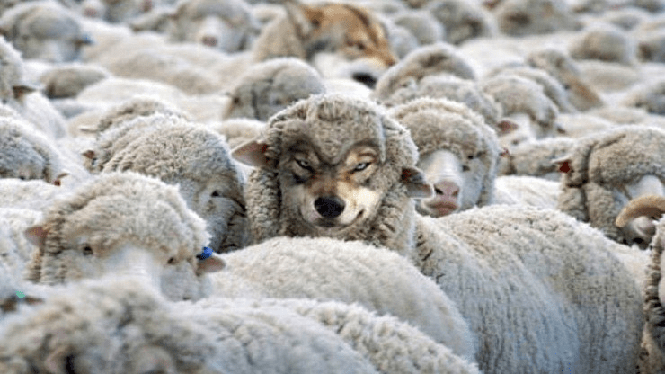 A flock of sheep, with a wolf in sheep's clothing standing in the middle.